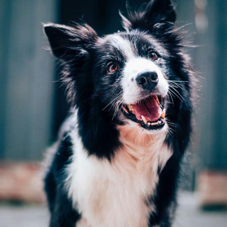 gossos en adopció